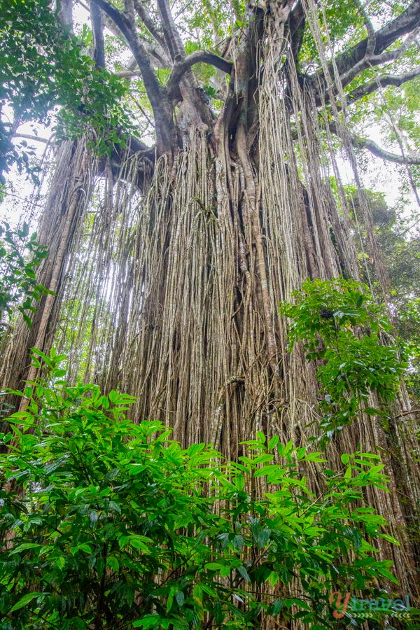 Impressive Curtain Figg Tree in the Atherton Tablelands of Queensland, Australia