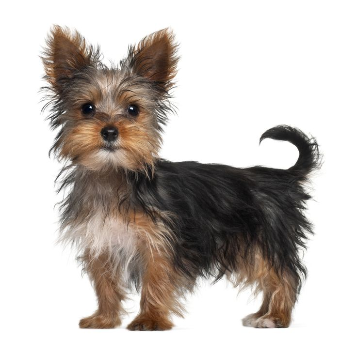 Yorkshire Terrier Information and Pictures - Petguide