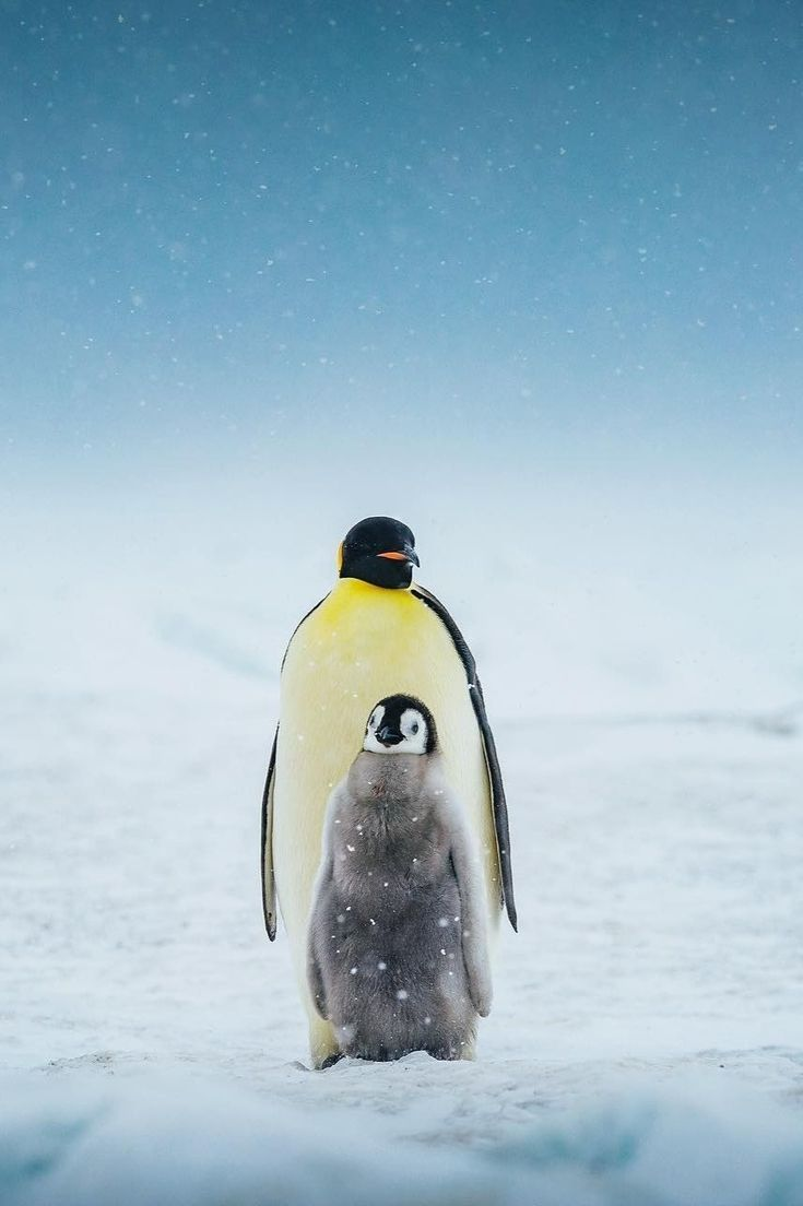 Pin by bern ack on iced beauties penguins emperor