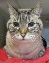 Forrest, an adoptable senior gentleman from Austin Siamese Rescue