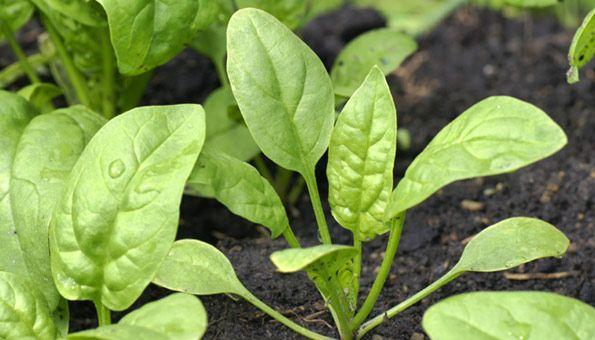 Spinat pflanzen: So säen Sie Spinat mit viel Erfolg