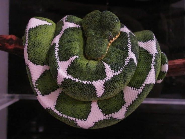 Diamond Amazon Basin Emerald Tree Boa by Ed Marino | Boas ...