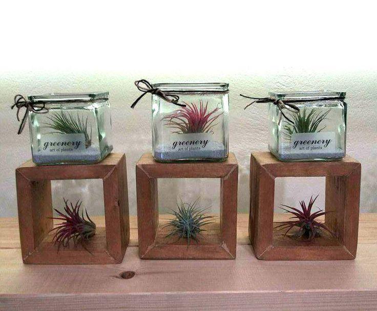 Air plants in jars