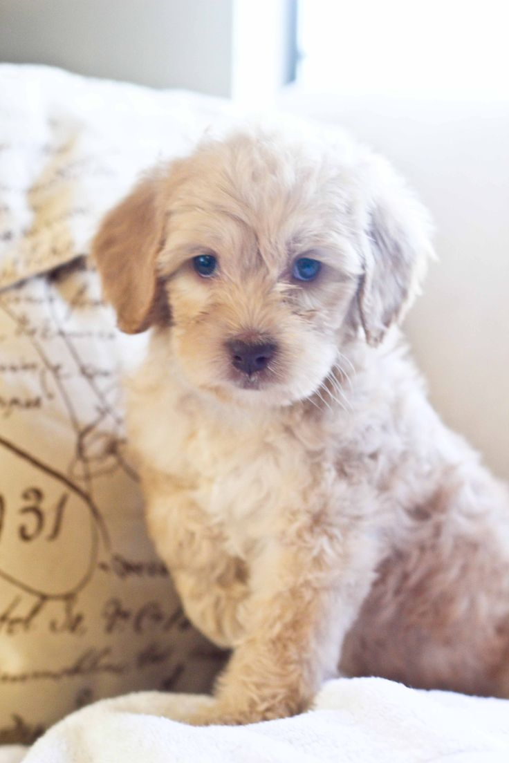 """Dreamer"" Cream Australian Labradoodle puppy available for"