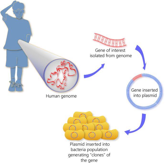 cloning a gene