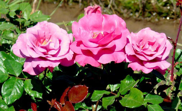 """Rosa rosada. Especial para decorar y darle vida a tu jardín.  """"VIVERO hAPPY GREEN"""""""