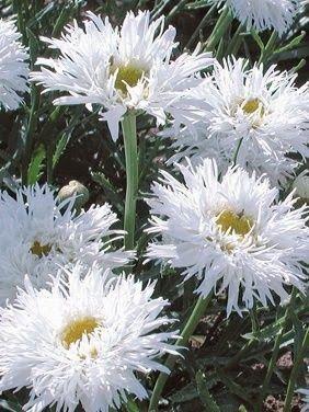 ~Shasta daisy …