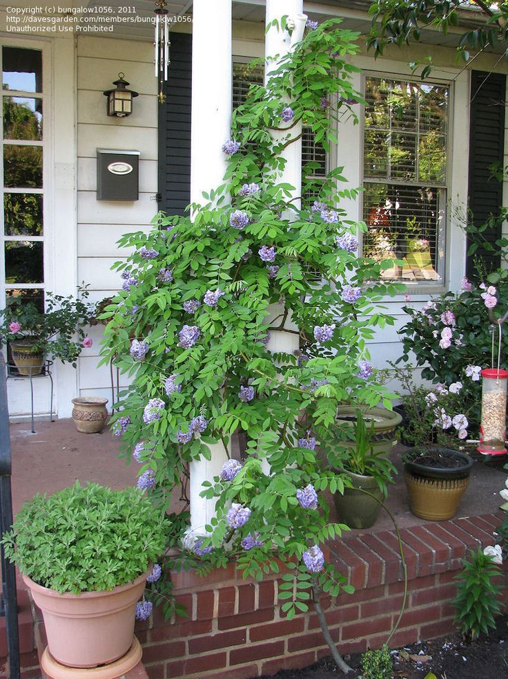 "American Wisteria 'Amethyst Falls' (Wisteria frutescens) - (""dwarf"" wisteria) -  3 year old vine- much better behaved than its cousins from Asia."