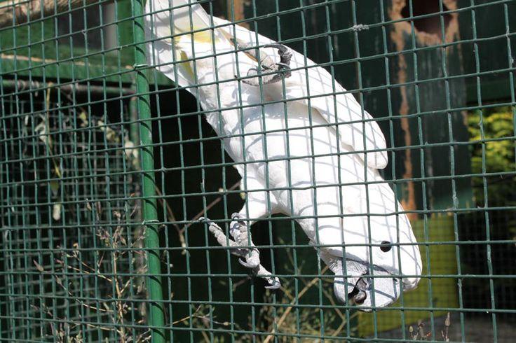 La cacatúa blanca de Avifauna haciendo de las suyas ante los niños en las instalaciones del Parque Zoológico Ornitológico de Avifauna