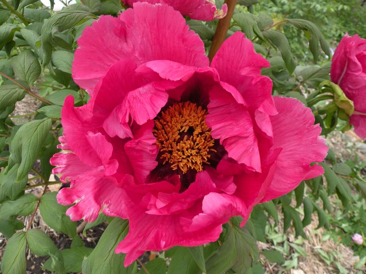 Paeonia Rockii and Gansu Mudan | crickethillgarden