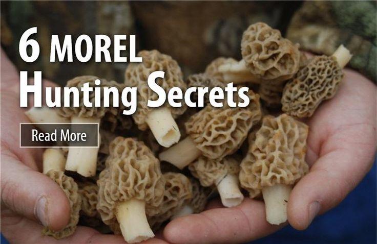 6 Morel Hunting Secrets - just don't ask us for our honey hole! #morels #springbounty #forageyourfood