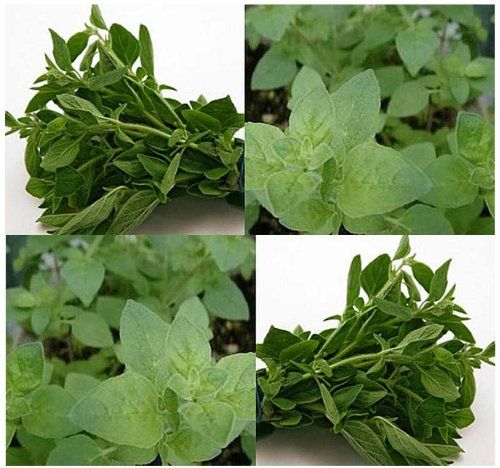1500 OREGANO SEEDS PERENNIAL CULINARY SPICE  ITALIAN  Mediterranean HERB *** Check out this great product.(This is an Amazon affiliate link and I receive a commission for the sales)