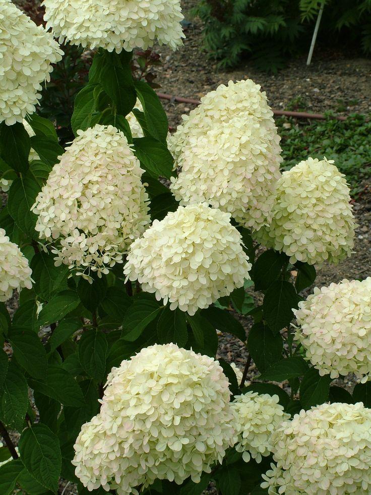 9 best hydrangea paniculata images on pinterest | hydrangea