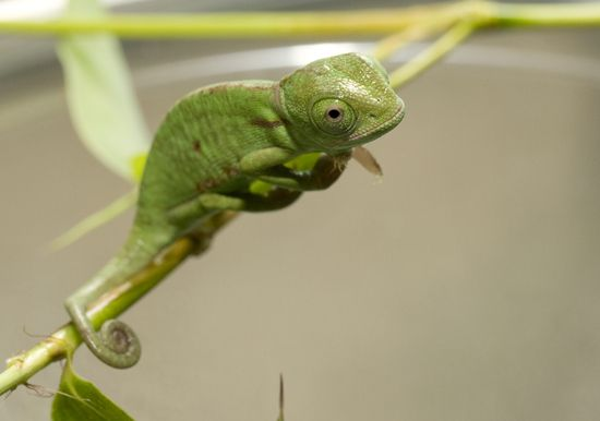 X 1 Chameleon 86 best images about L...