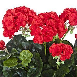 Consejos para obtener un hermoso jardín con geranios