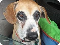 New York, NY - Hound (Unknown Type) Mix. Meet Susie Q, a dog for adoption. http://www.adoptapet.com/pet/12837853-new-york-new-york-hound-unknown-type-mix. Available at Rescue Dogs Rock.
