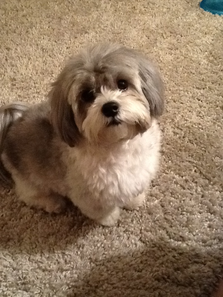 Shih Tzu Dog Breed   Shih Tzu Information   Information on Shih Tzus Shih Tzu Dog Breed Pictures