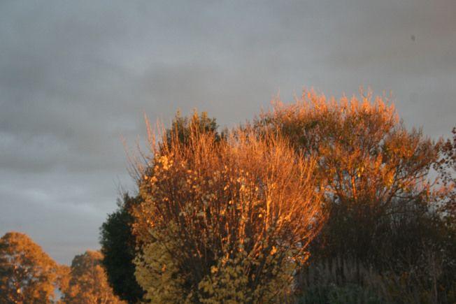 Sunset trees, Penola SA