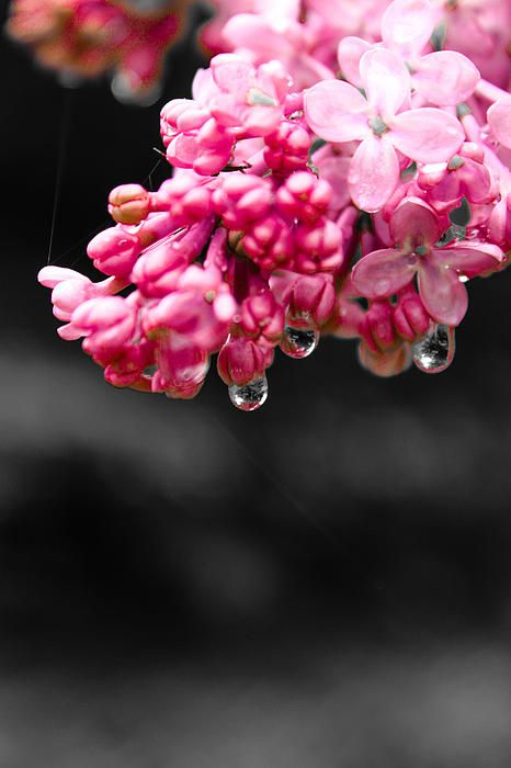 Lilac and water drop