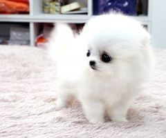 This might be the cutest stinking thing i've ever seen. Even though I hate Pomeranians.
