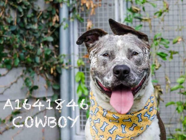 COW BOY - URGENT - CITY OF LOS ANGELES SOUTH LA ANIMAL SHELTER in Los Angeles, CA - Young Neutered Male Staffordshire Terrier