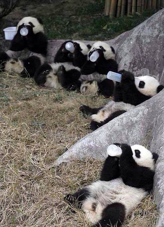 Baby Pandas Drinking Milk.! Say Something on this photo?? - 中城健二 - Google+