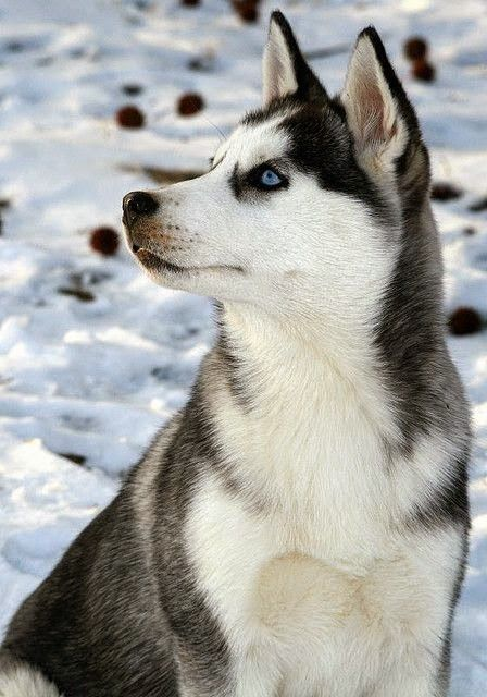 Siberian Husky From 8 Below | Recent Photos The Commons Getty Collection Galleries World Map App ..