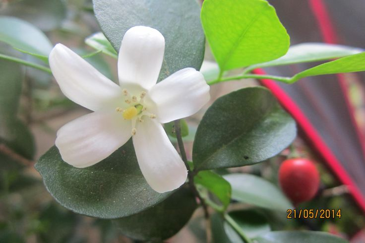 Beatiful Jasmine