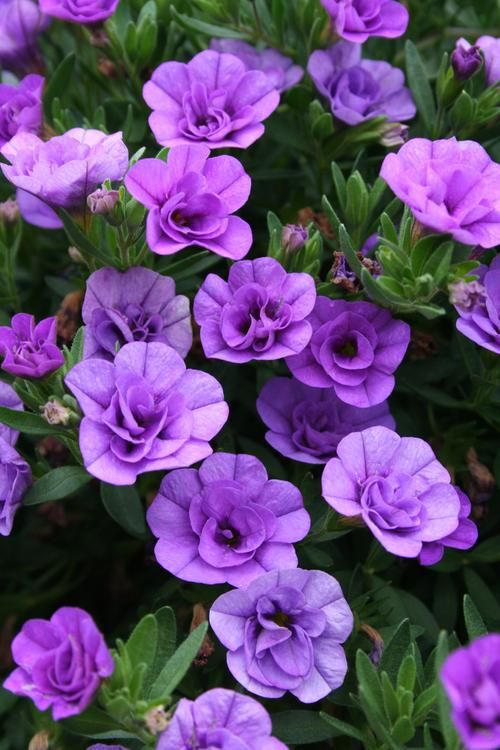 Double Calibrachoa or million bells.  Incredible annual for containers.   Single or double flowers in wide variety of colors.  Awesome in hanging baskets & hummingbirds love them.