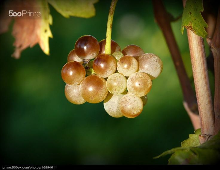The last bunch of grapes by MAURIZIO PONTINI | 500px Prime
