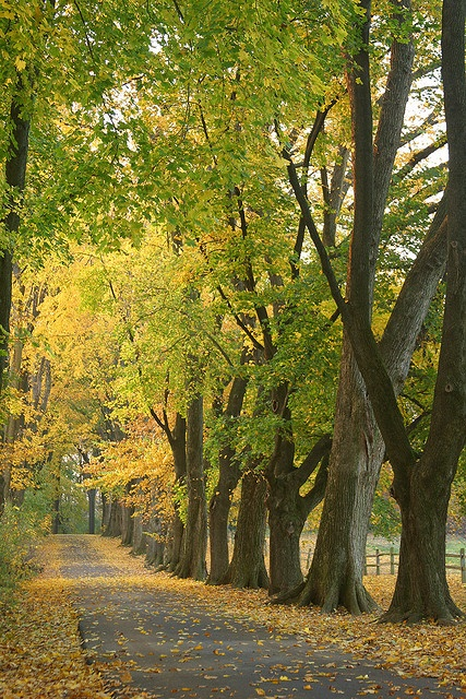 """Elm tree lined driveway by Gypsy Cowboy, via Flickr Not Victorian Flower Language but meaning """"American Patriotism"""""""