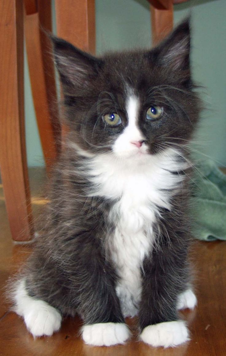 7 best maine coon cats images on Pinterest