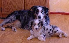 Mini Australian Shepherds For Sale Australian Shepherd Rescue Puppies Miniature Dogs