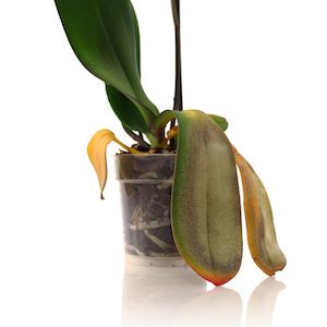Orchid Leaves | Blog - Orchid care tips for watering Phalaenopsis orchids with ice. Don't forget to sign up for orchid care watering reminders.