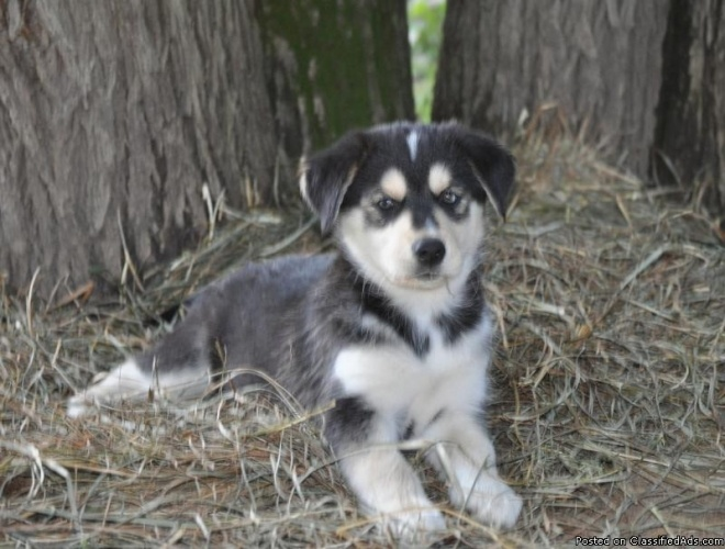 Goberian puppy...If I can find one when we are ready to
