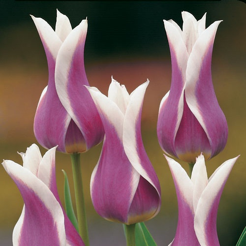 royal purple and ivory tulips . . . I really must have some of these!                                                                                                                                                      More