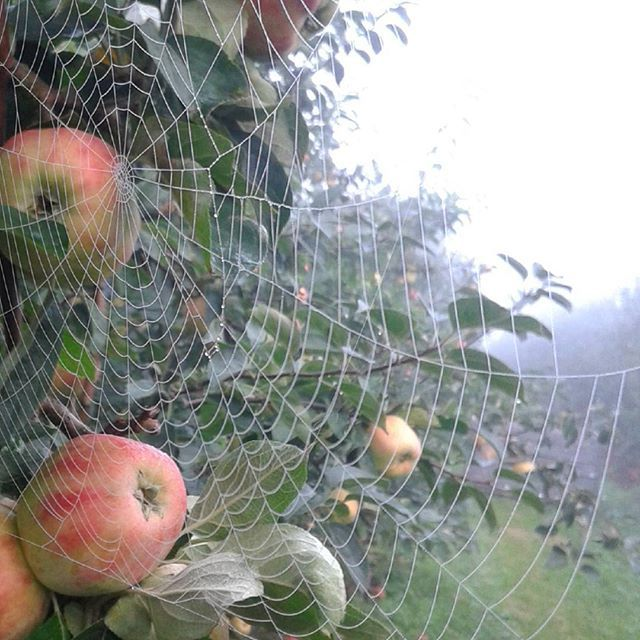 Misty mystic morning among the apple trees