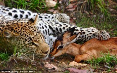 wisbenbae: Jangan percaya macan tutul !