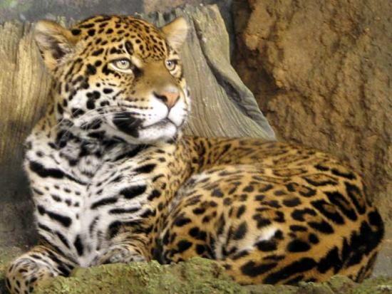 143 best felins sauvage et beau images on pinterest wild animals big cats and cutest animals. Black Bedroom Furniture Sets. Home Design Ideas