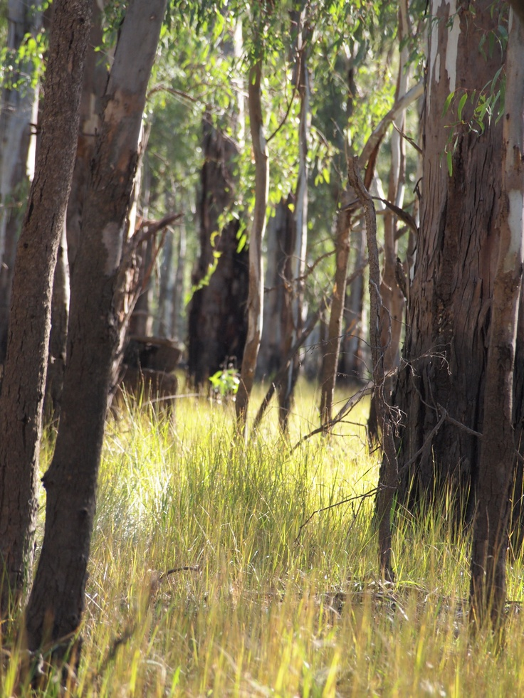 Barmah Bush on the Murray