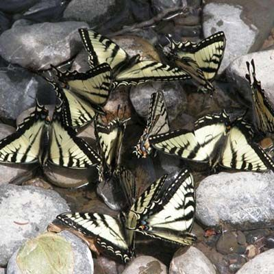 """butterflies """"puddle"""" in shallow water for minerals. set out a dish with rocks and tap water or create a bare spot with moist soil in butterfly garden. Could use birdbath or dig a spot where rain water collects and put a tray filled with rocks down. Or could dig a shallow sport where it is wet in yard. // thisoldhouse"""