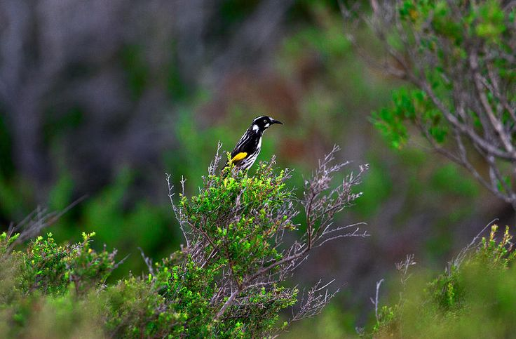 Honey Eater Bird Of Heath