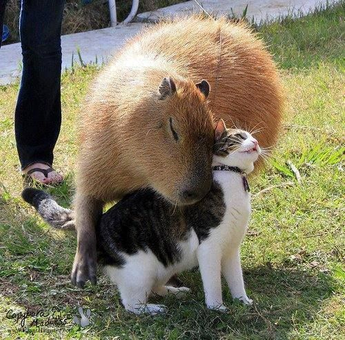 The world's largest rodent is the Capybara and even they can become best buds with a cat. Garibaldi the Capybara and Flopsy the cat share a remarkable friendship. They play together and even sleep together sometimes by the fireplace. Many Capybaras are gentle creatures that love attention and being petted by humans, just like our feline friends.