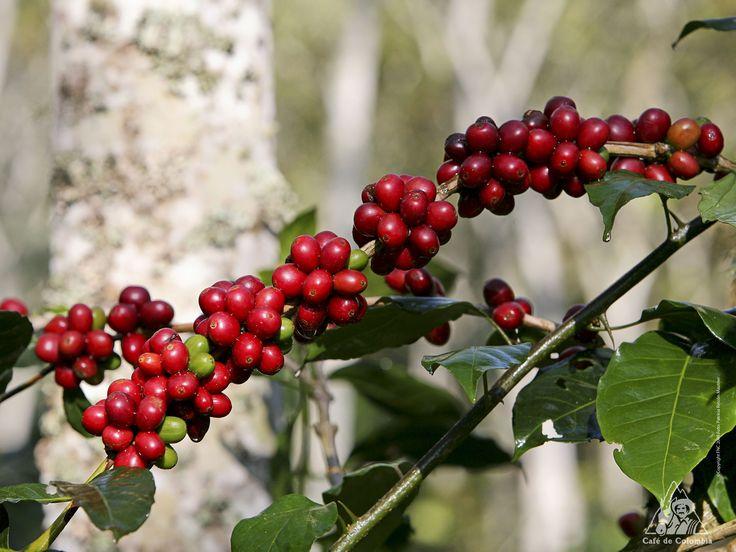 El delicioso café colombiano que tu y yo tomamos viene de la familia de las Rubiáceas que tienen una enorme selección de granos de café. Se encuentra varios arboles y plantas medicinales en la cual se extrae la quinina. La primera planta de café fue hecha en 1592 y hasta este momento siguen creciendo.