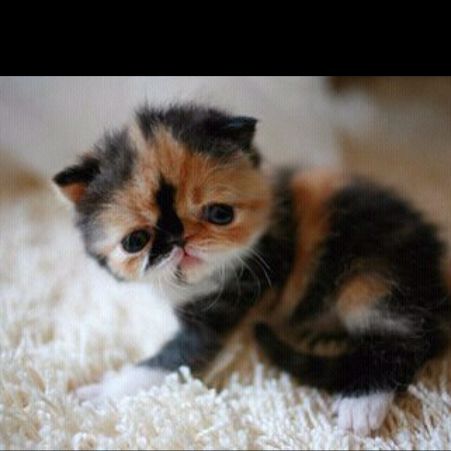 I must have this flat faced cat! So cute! | Oceanruby ...