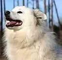 eskie love: Eskimo Dogs, Eskimo Spitz, American Eskimo, Eskie, Animal