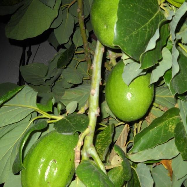 M s de 1000 im genes sobre arboles frutales en pinterest - Como plantar frutales ...