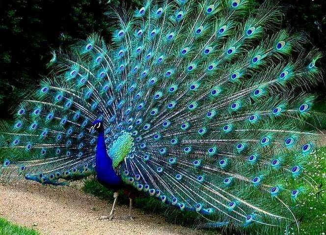 164 Best Images About Poue On Pinterest Peacocks