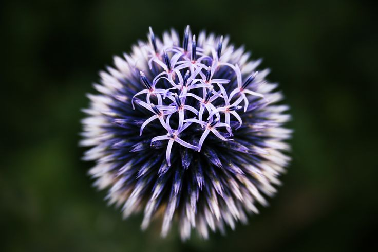 "Echinops - A beautiful globe thistle in our garden.  ///<a href=""http://nicolai-boenig.de"">My Photography Webpage: nicolai-boenig.de</a> ///<a href=""https://www.facebook.com/BoenigFotografie"">My Facebook Page: facebook.com/BoenigFotografie</a>"