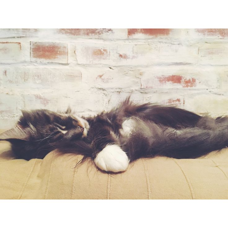 #mainecoon #cat